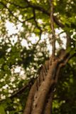 Treetrunk has long spikes on one side royalty free stock photo