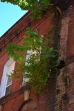 Unwelcome tree. This tree has somehow managed to root itself and grow out of the seams of the brick wall of an old building damaging the integrity of the wall Stock Photos