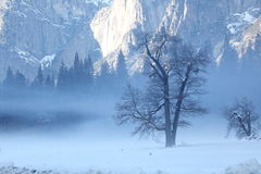 Tree in Haze. At Yosemite National Park, an old huge tree stand inside of haze Stock Photography