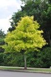 Tree Health Problems: Chlorosis Royalty Free Stock Photos