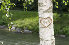 Tree with heart and letters M + C carved in. Lovers heart carved into a birch tree along with letters M + C Stock Image