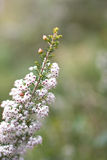 Tree heath Royalty Free Stock Photo