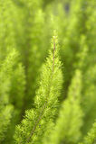 Tree heather. A close-up of branches of tree heather Royalty Free Stock Images