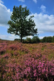 Tree in a heather field. Meadows or fields full with purple heather Royalty Free Stock Photography