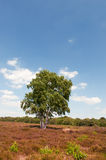 Tree in Heather landscape. Single tree in vertical nature Heather landscape Royalty Free Stock Photography