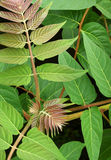 Tree of Heaven. Leaves of the invasive Tree of Heaven (Ailanthus altissima), also known as Stinking Sumac Stock Image
