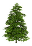 Tree of heaven isolated on white Royalty Free Stock Photography