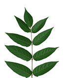 Tree of heaven Leaf Stock Photo