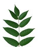 Tree of heaven Leaf Stock Photo