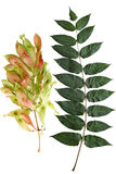 Tree of Heaven leaf and Fruit Stock Photo
