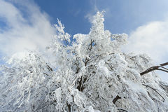 Tree  heavily covered in snow Stock Photography