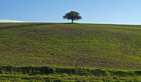 Tree hermit. Green hill with lonely Tree in the middle royalty free stock images