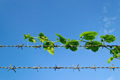 Tree Hiding The Sharp Spikes Of Barb Wire Royalty Free Stock Photography