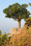 Tree on a hill. Single tree standing on the top of a hill Royalty Free Stock Image