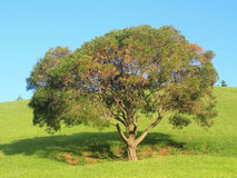 A tree on the hill. A tree on the green hill in Nan Tien Temple park Royalty Free Stock Images