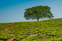 Tree on the Hill Stock Photography