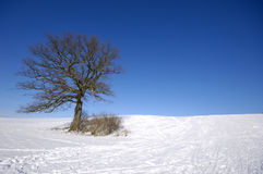 Tree on hill at winter Royalty Free Stock Photography