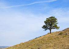Tree on a Hillside with Jet Trail Stock Image