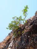 Tree on hillside Royalty Free Stock Image