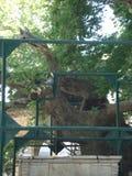 Tree of Hippocrates in Kos, Greece royalty free stock photo