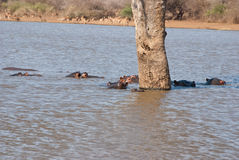 Tree hippos Stock Photo