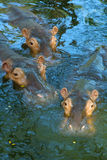 Tree hippos in water. Close up of tree hippos in water Stock Photo