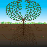 The tree and his root system. Healthy fertile plant and his root system Stock Image