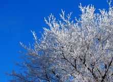 Tree With Hoar Frost Stock Photo