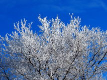 Tree With Hoar Frost Royalty Free Stock Photo