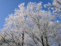 Tree in hoarfrost Royalty Free Stock Image