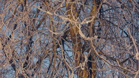 Tree in hoarfrost. Frozen tree. Winter forest. Hoarfrost on tree branches stock video