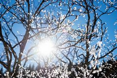 Tree with hoarfrost in the sunny forest royalty free stock photo