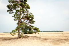 Tree in Hoge Veluwe. Landscape with tree with sky Royalty Free Stock Photography