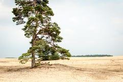 Tree in Hoge Veluwe Royalty Free Stock Photography
