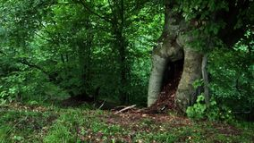 Tree Hollow. A tree hollow footage. Tree hole is a semi-enclosed cavity which has naturally formed in the trunk or branch of a tree stock footage