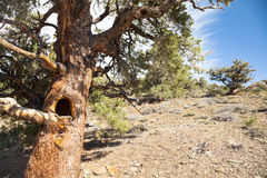 Tree with Hollow in Juniper and Pine Forest Royalty Free Stock Photos