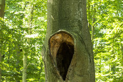 Tree hollow Royalty Free Stock Photo