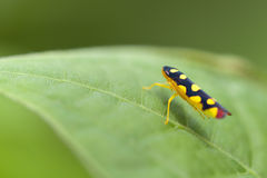 Tree hopper Stock Photography