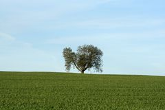 Tree on the Horizon. Old tree stands alone, where it has stood on the horizon of a wheat field and the skyline for many years stock photo