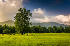 Tree and horses in a field, at Cade's Cove, Great Smoky Mountain Royalty Free Stock Images