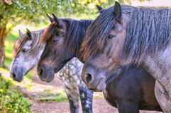 Tree horses standing in a row Royalty Free Stock Image