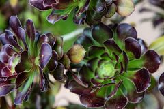 Tree houseleek Sempervivum tectorum Royalty Free Stock Photography