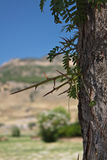 tree with huge thorns in desert of anatolia in pamukkale in blue sky, turkey royalty free stock photos