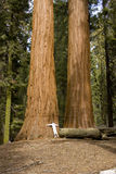 Tree hugger. Woman hugging a giant sequoia tree in a national forest Stock Images