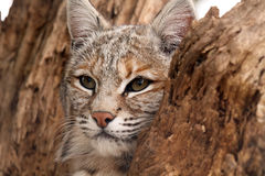 Tree Hugger. Closeup of a Bobcat hiding in an old tree stump Stock Images