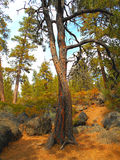 Tree Huggers. Strange intertwined pines by Dillon Falls near Bend, OR stock image