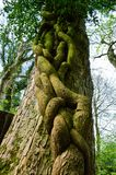 Tree hugging. Beautiful tree with vines growing up it Stock Photo
