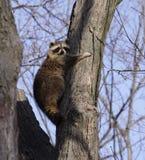 Tree Hugging Raccoon Stock Images