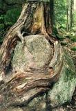 Tree hugging rock Royalty Free Stock Photo