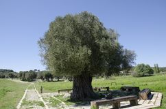 Tree of hundreds of years old in Alacati Royalty Free Stock Photos